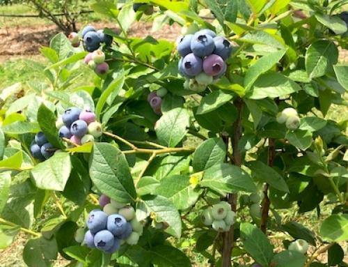 Blueberries 2016