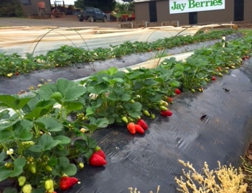 Strawberries are ready to go!